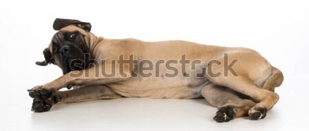 英語 マスチフ 子犬 白 寝 ストックフォト © willeecole