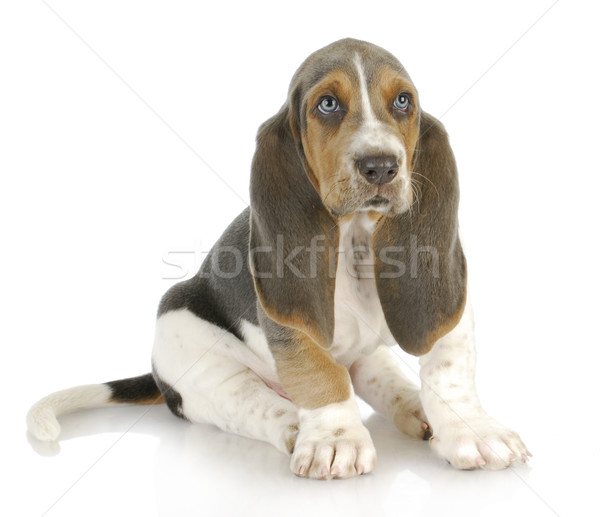 ハウンド 子犬 座って 白 赤ちゃん 犬 ストックフォト © willeecole