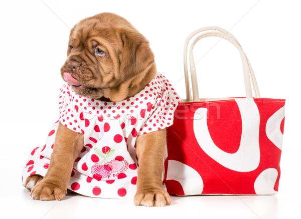 Zdjęcia stock: Kobiet · szczeniak · sukienka · psa