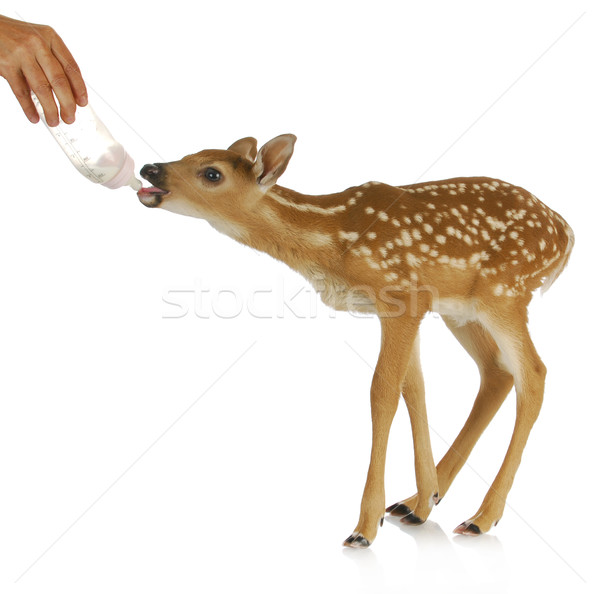 hand raising fawn Stock photo © willeecole