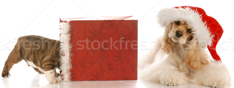 american cocker spaniel wearing santa hat laying beside christmas bag with puppy inside Stock photo © willeecole