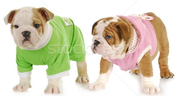 Stock fotó: Kettő · kiskutyák · angol · bulldog · kutyakölyök · lány