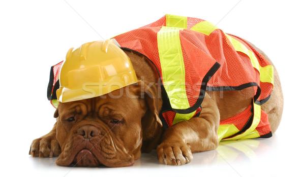Dolgozik kutya Bordeau felfelé ahogy építőmunkás Stock fotó © willeecole