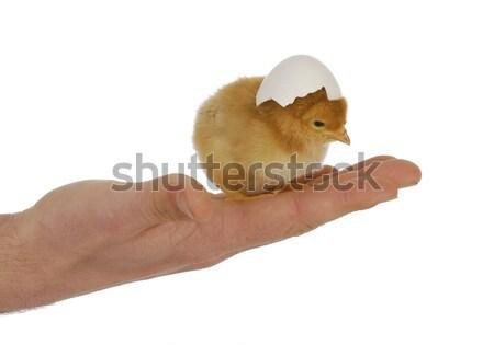 手 ひよこ かわいい 卵 ストックフォト © willeecole