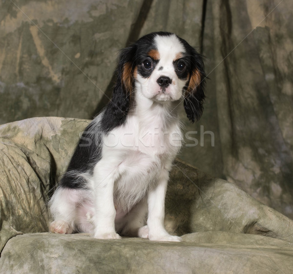 cavalier king charles spaniel puppy Stock photo © willeecole