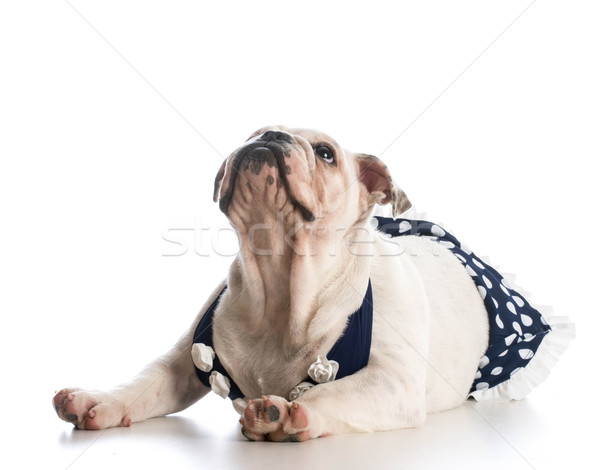 Chien maillot de bain anglais bulldog chiot Photo stock © willeecole