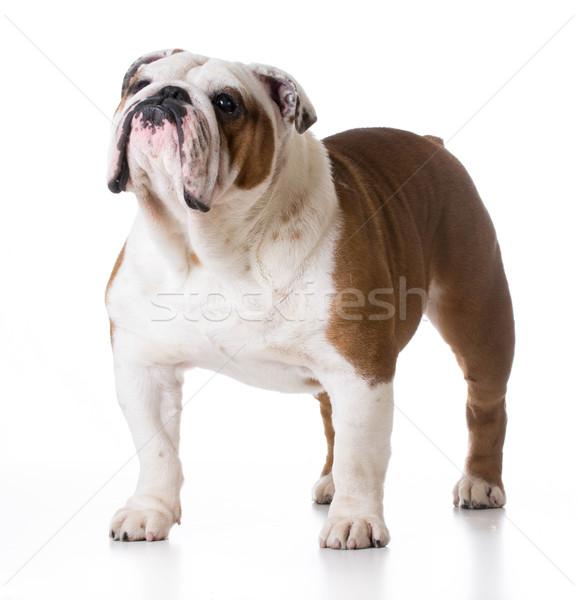 Bulldog áll fehér férfi 5 éves kutya Stock fotó © willeecole