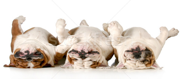 sleeping dogs Stock photo © willeecole