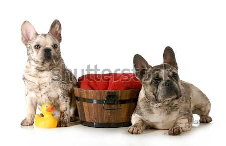 dirty dog Stock photo © willeecole