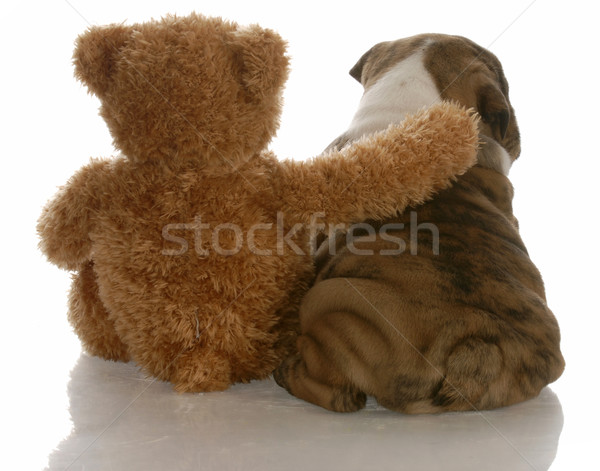 best friends - english bulldog puppy sitting beside bear Stock photo © willeecole