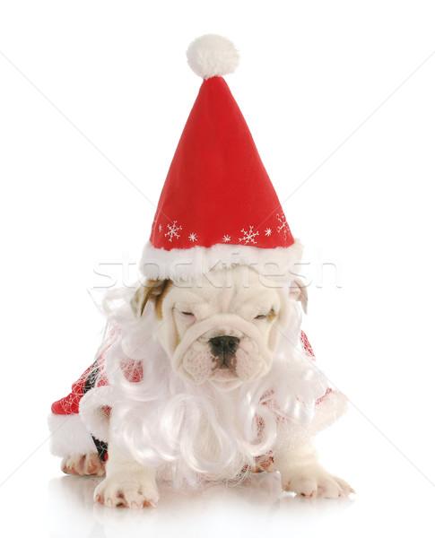 Stock fotó: Kutyakölyök · mikulás · angol · bulldog · visel · jelmez