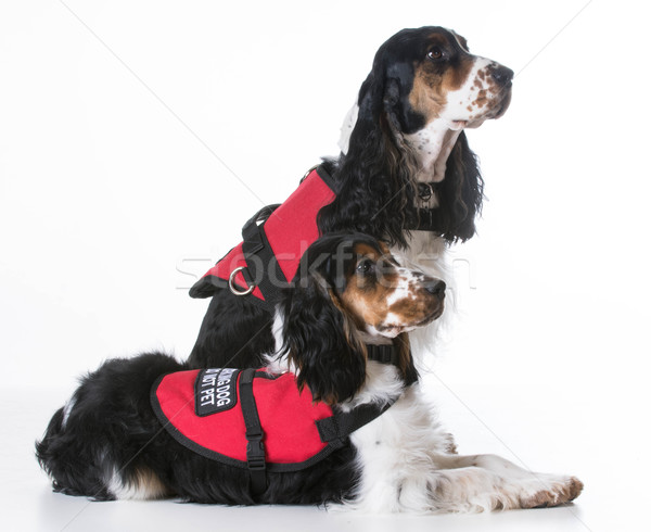 service dogs Stock photo © willeecole