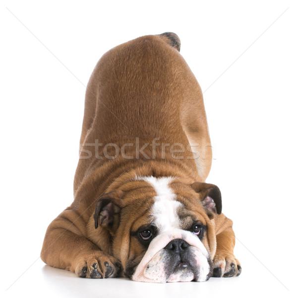 dog bowing Stock photo © willeecole