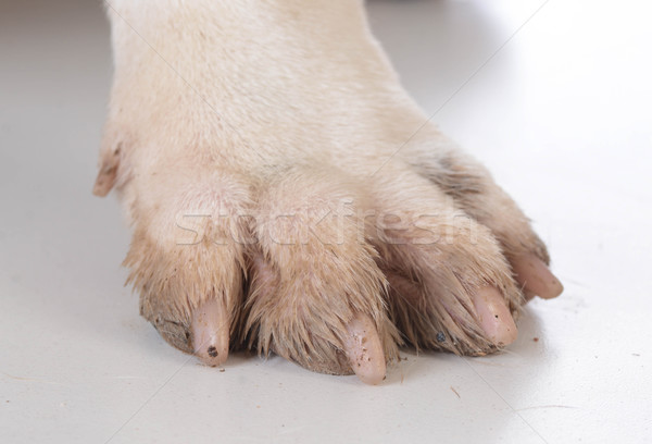 dirty dog feet Stock photo © willeecole