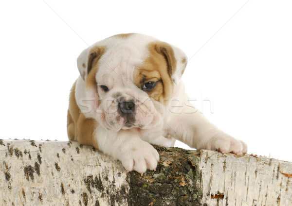 outdoor puppy Stock photo © willeecole