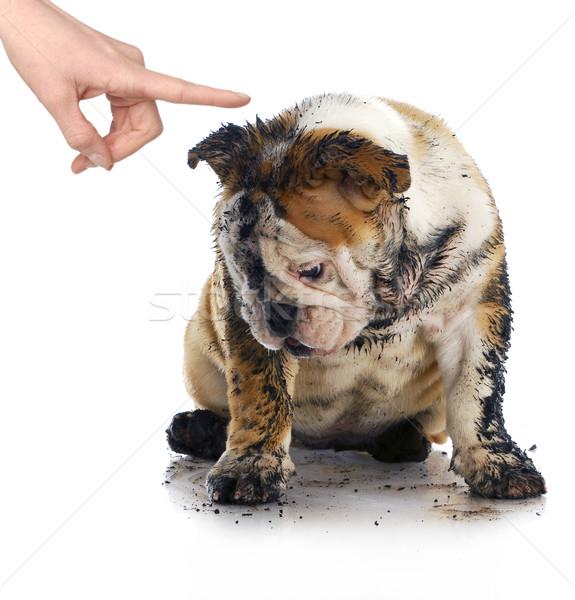 Rossz kutya koszos szomorú angol bulldog Stock fotó © willeecole