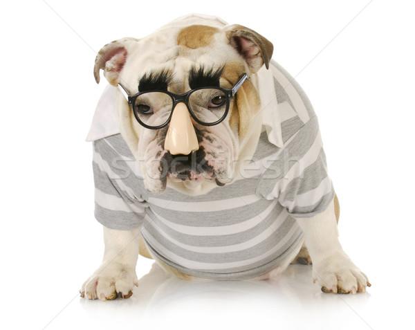 смешные собака английский бульдог очки Сток-фото © willeecole
