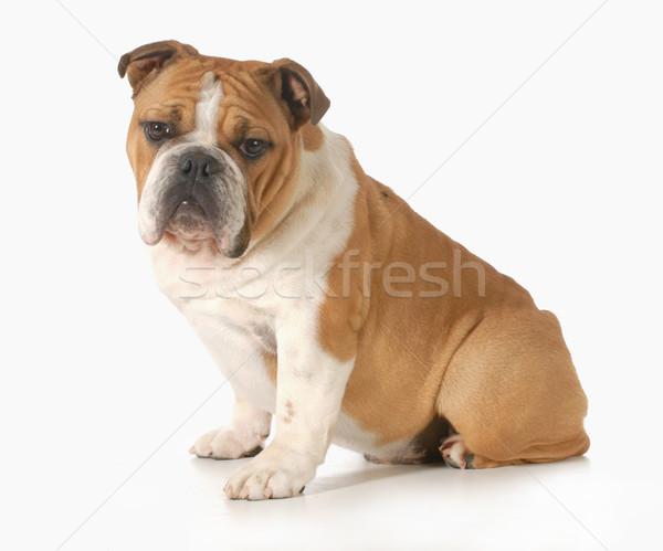 ストックフォト: ブルドッグ · 子犬 · 座って · 見える · ヶ月 · 古い