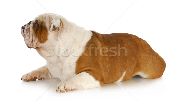 dog laying down looking up Stock photo © willeecole