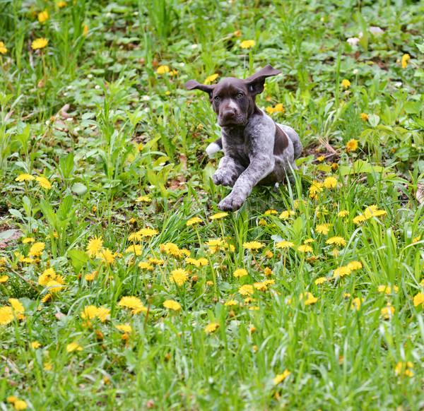 Сток-фото: щенков · играет · за · пределами · работает · собака