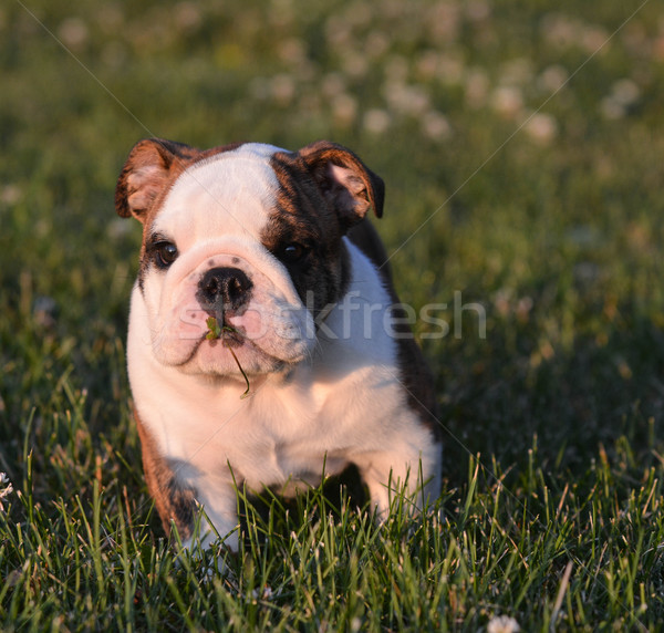 puppy eating grass Stock photo © willeecole