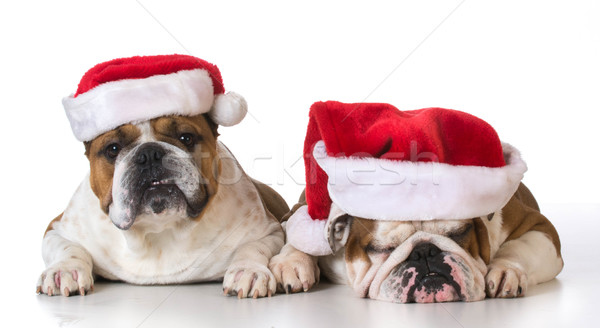 two dog santas Stock photo © willeecole