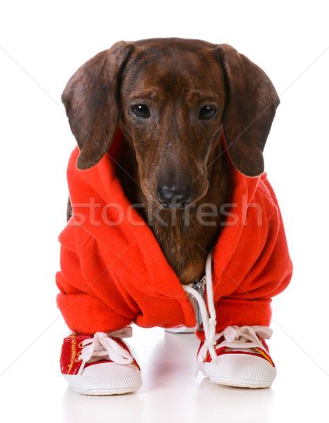 Sportok vadászkutya tacskó visel kabát futócipők Stock fotó © willeecole