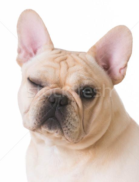 Kutya kacsintás francia bulldog portré egy Stock fotó © willeecole