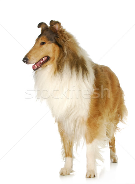 rough collie standing Stock photo © willeecole