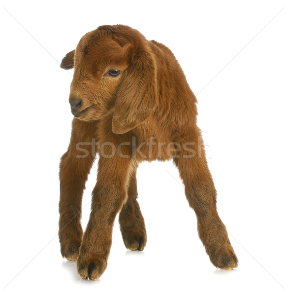 baby goat or kid Stock photo © willeecole