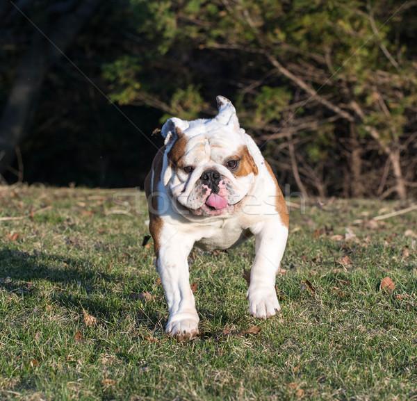 english bulldog running Stock photo © willeecole