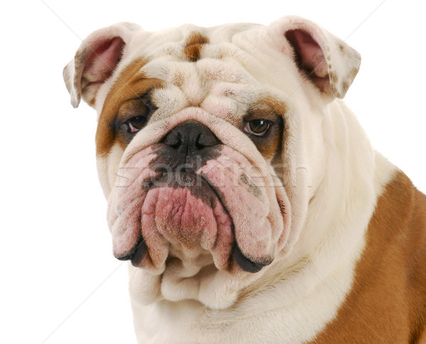 bulldog portrait Stock photo © willeecole