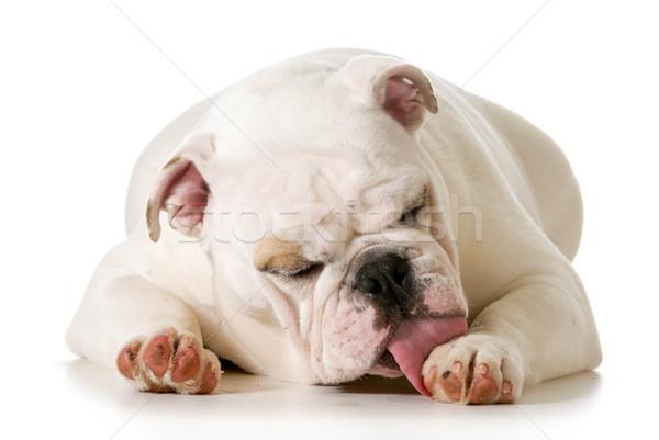 dog licking paw Stock photo © willeecole