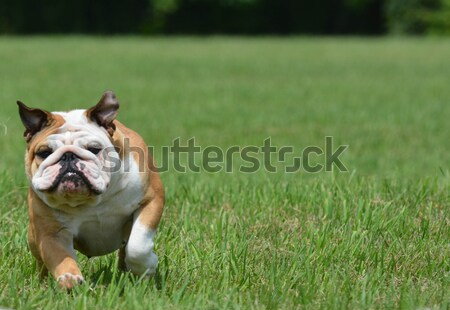 lure coursing Stock photo © willeecole