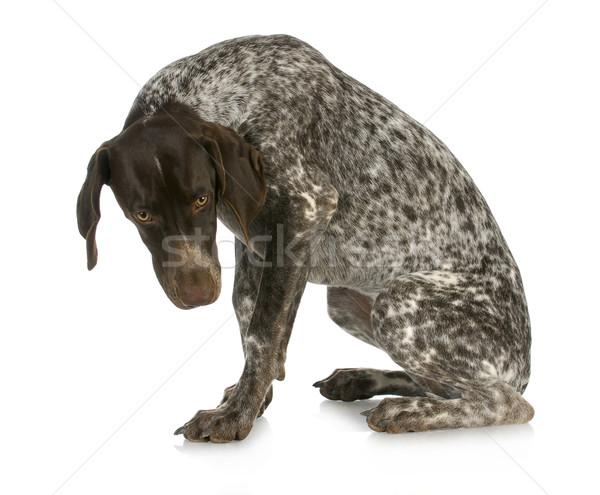 плохо собака виновный глядя короткий сидят Сток-фото © willeecole