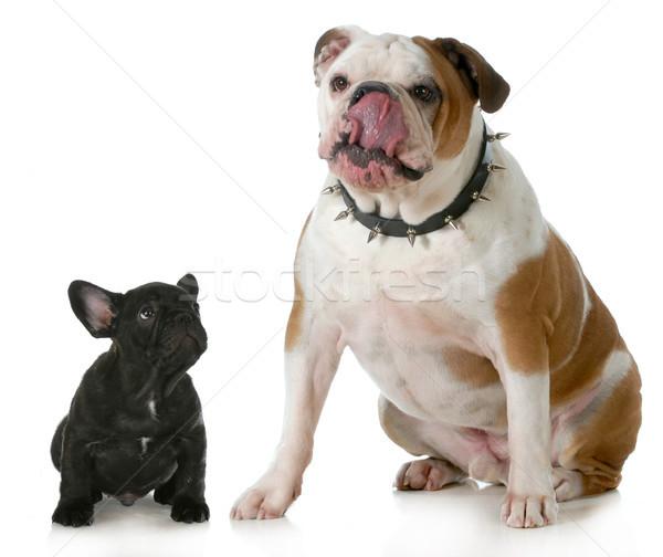 big dog small dog Stock photo © willeecole