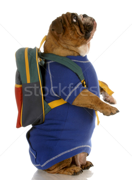 english bulldog standing up wearing blue sweater and backpack Stock photo © willeecole