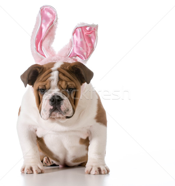 Ostern Hund Englisch Bulldogge tragen bunny Stock foto © willeecole