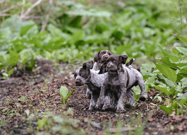 litter of puppies playing Stock photo © willeecole