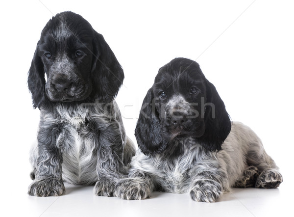 litter of puppies Stock photo © willeecole