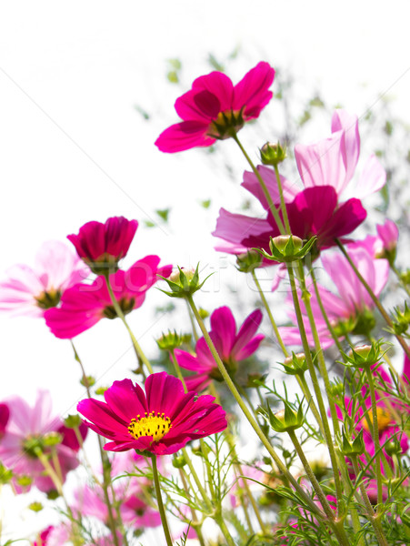 ピンクの花 ピンク 花 自然 美 夏 ストックフォト © winnond