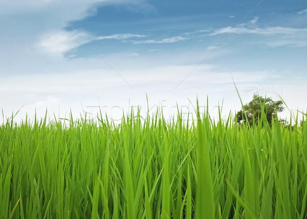Dziedzinie zielone Błękitne niebo trawy krajobraz roślin Zdjęcia stock © winnond