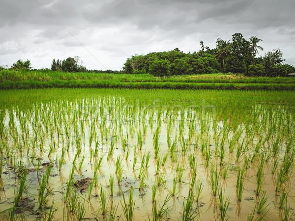 Crescente arroz natureza fundo campo país Foto stock © winnond