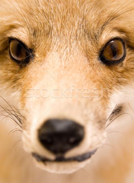 Foto stock: Recheado · raposa · pormenor · tiro · olho