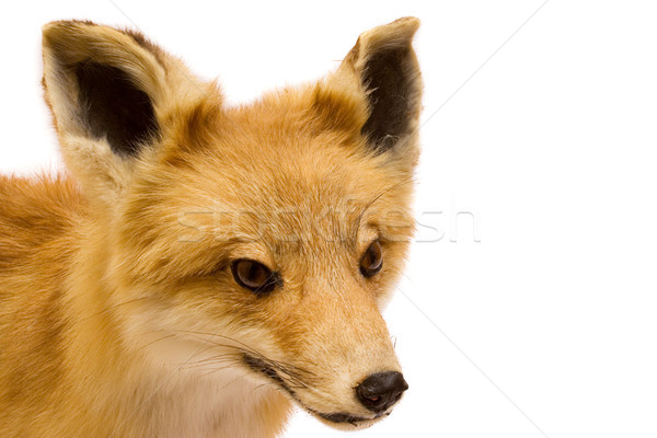 Stuffed Fox Stock photo © winterling