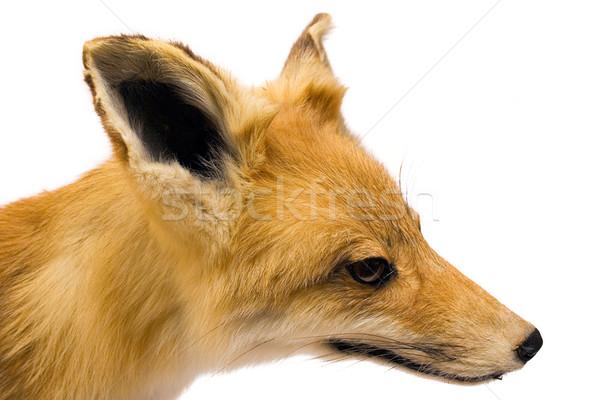 Raposa vista lateral cabeça recheado isolado branco Foto stock © winterling