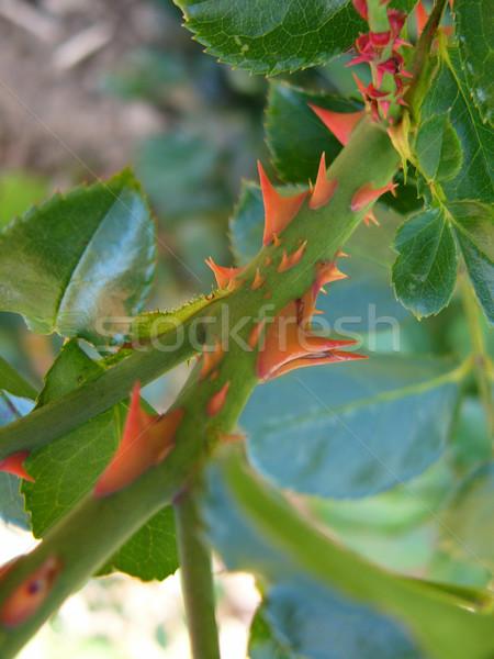 Rosa planta flor jardim verde Foto stock © winterling