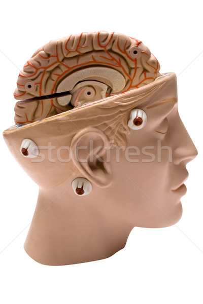 Human Brain Side View Stock photo © winterling