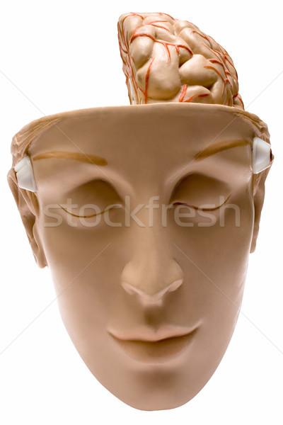 Cérebro humano modelo isolado branco arquivo Foto stock © winterling