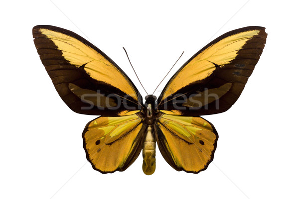 Golden Butterfly Stock photo © winterling